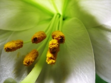 easter-lily_small